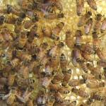 bees_comb