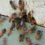 bees_pollen